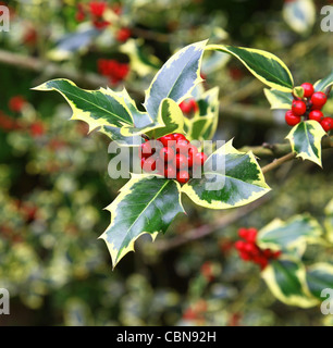 Red berries and yellow and green leaves of a variegated Common Holly, Ilex aquifolium 'Madame Briot' - Stock Photo