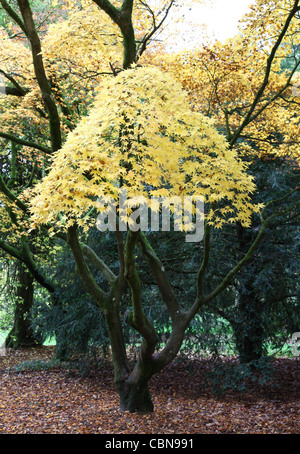 A conical green leaved Japanese Maple or Acer tree at Westonbirt Arboretum, The National Arboretum, Gloucestershire - Stock Photo