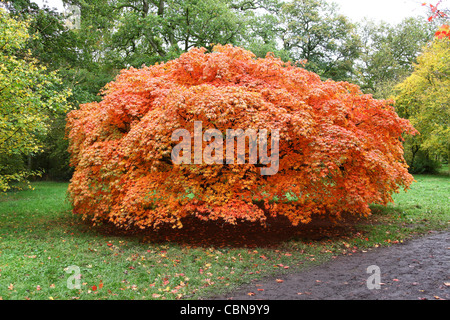 A red orange Japanese Maple or Acer tree in autumn at Westonbirt Arboretum Tetbury Gloucestershire England - Stock Photo