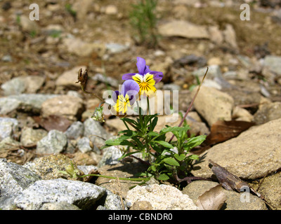 horned violet, horned pansy grow on stones / Viola cornuta / Hornveilchen wachsen  Steinen - Stock Photo