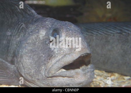 blind wolf fish in aquarium Anarhichas lupus SEA LIFE Blackpool, Promenade, Blackpool, Lancashire, FY1 5AA, England, - Stock Photo