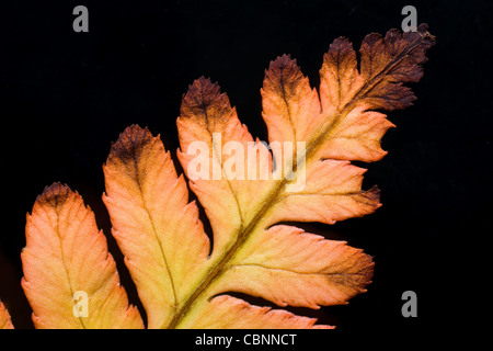 Close up of Dryopteris erythrosora Autumn Fern, Autumn Brilliance Fern, Japanese Wood Fern or Japanese Shield Fern - Stock Photo