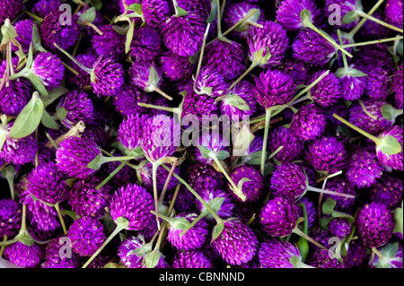 Gomphrena globosa. Globe Amaranth or Bachelor Button flowers. Andhra Pradesh, India - Stock Photo
