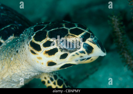Close-up of a sea turtle in the Caribbean Sea - Stock Photo