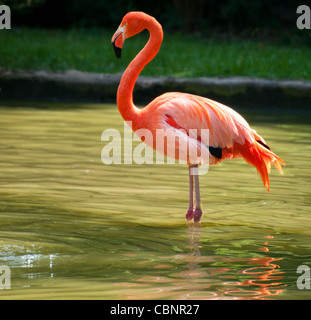 Beautiful Flamingo standing on two foot - Stock Photo