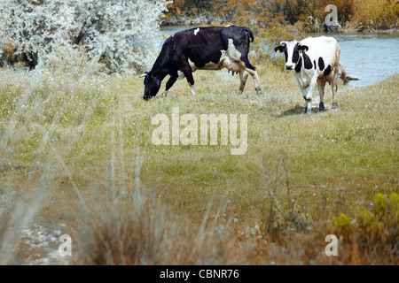 Two cows pasturing in the field. Natural light and colors - Stock Photo