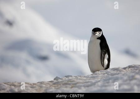 Chinstrap Penguin Pygoscelis antarcticus landscape wild not captive - Stock Photo