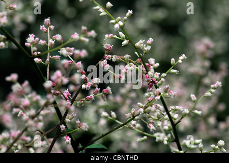Artemisia lactiflora Guizhou white mugwort spray flowers blooms blossoms musk scented red-brown stems ferny black - Stock Photo