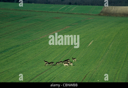 A herd of roe deer in a young wheat crop - Stock Photo