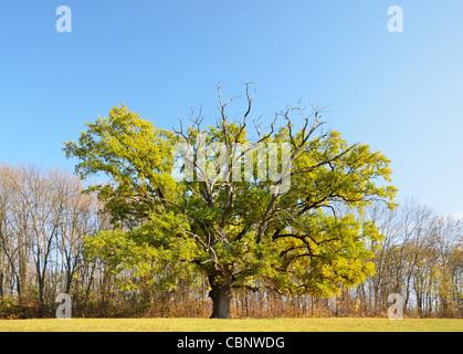 A single oak tree in the autumn glade of Sofiyivsky Park. - Stock Photo