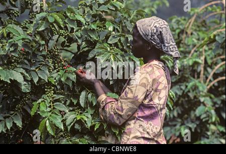 Girl picking ripe coffee cherries from the bush, Nairobi, Kenya - Stock Photo