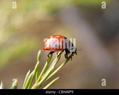 seven-spot ladybird beetle, ladybug / Coccinella septempunctata / Siebenpunkt - Marienkäfer - Stock Photo
