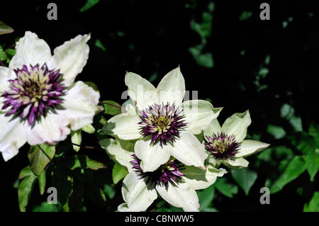 Clematis Sieboldii Florida purple white flowers fully double climber climbing plant perennial flower bloom blossom - Stock Photo