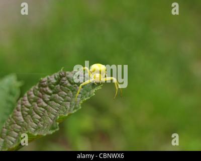Crab spider / Misumena vatia / Veränderliche Krabbenspinne - Stock Photo