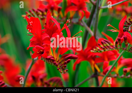 crocosmia lucifer perennials flowers blooms orange red colours colors closeups close-ups montbretias montbretia - Stock Photo