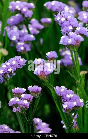 Statice sinuata Sunburst pale blue Limonium flowers bloom blossom annual Sea Lavender Statice Marsh-rosemary  distinctive - Stock Photo