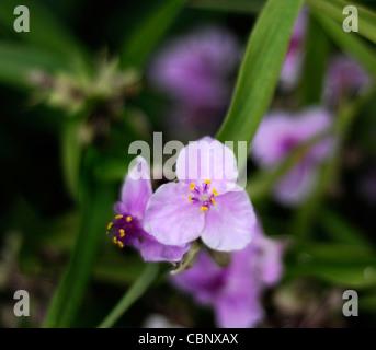 Tradescantia x andersoniana 'Concord Grape' spiderwort perennial plant - Stock Photo