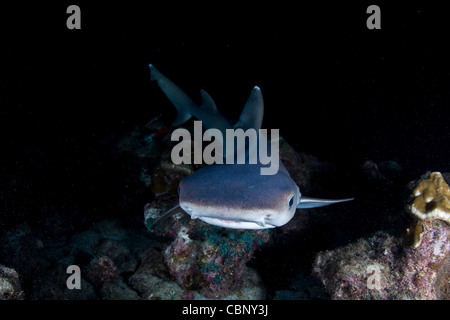 A Whitetip reef shark, Trienodon obesus, swims through the night searching for fish sleeping in the rocks near Cocos - Stock Photo