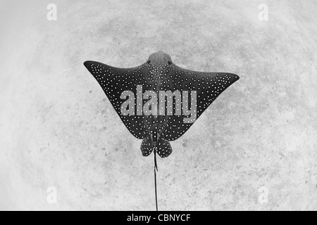 A Spotted eagle ray, Aetobatus narinari, glides over a sandy bottom where it feeds on bivalves, crabs, shrimp, and - Stock Photo