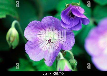 geranium jolly bee rozanne cranesbill flowers blooms blossoms perennials blue purple closeup close up - Stock Photo