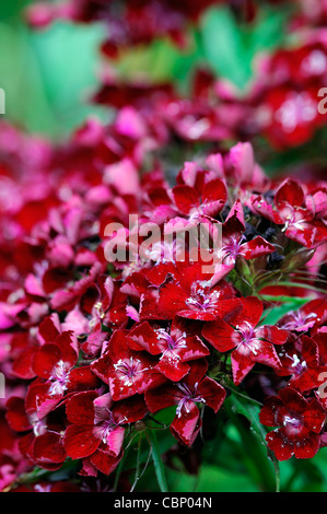 rain damaged dianthus red flowers blooms blossoms dianthus barbatus red flowers sweet williams summer closeup selective - Stock Photo