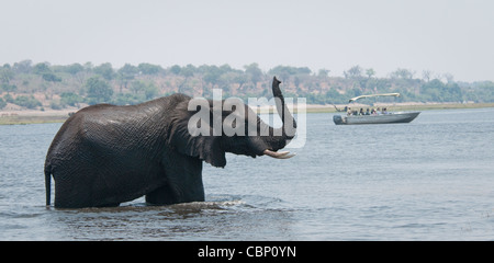 Africa Botswana Chobe River-African elephant in river with it's trunk up in the air, smelling.  Boat is in the background - Stock Photo