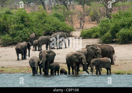 Africa Botswana Chobe River-Elephants in the river, others near shoreline - Stock Photo