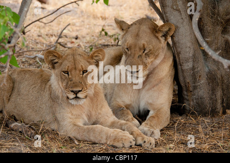 Africa Botswana Linyanti Reserve-Two lions laying down together - Stock Photo