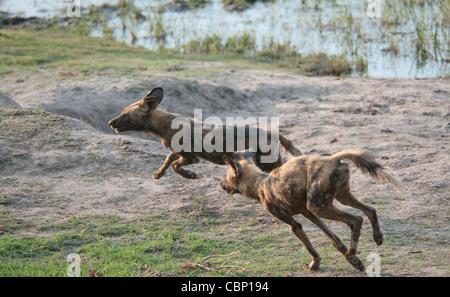 Africa Botswana Linyanti Reserve-Two African wild dogs running - Stock Photo