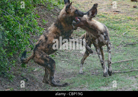 Africa Botswana Linyanti Reserve-Two African wild dogs playing - Stock Photo