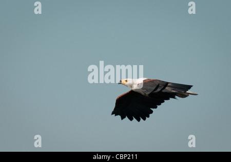 Africa Botswana-African Fish Eagle flying - Stock Photo