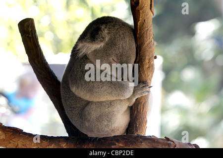 A Koala (Phascolarctos cinereus) a arboreal herbivorous marsupial native to Australia. - Stock Photo