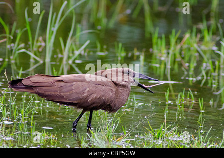 Hamerkop dining in Lake Naivasha, Rift Valley, Kenya - Stock Photo