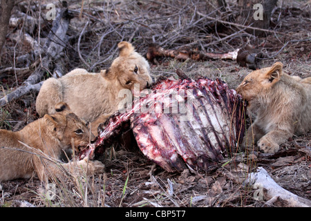 lion cubs eating prey - Stock Photo
