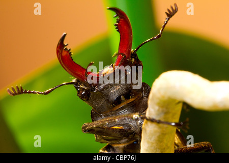 A Stag Beetle on a branch in West London - Stock Photo