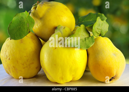 quince on a green background - Stock Photo