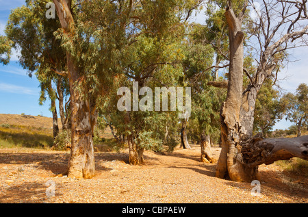 Old River Red Gum Trees (Eucalyptus camaldulensis) in the dry bed of Kanyaka Creek in the Flinders Ranges in South - Stock Photo