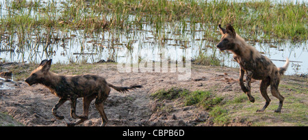 Africa Botswana Linyanti Reserve-Two African wild dogs playing and chasing - Stock Photo
