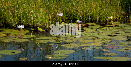 Africa Botswana Okavango Delta Scenic of lilies and lilypads in Okavango Delta - Stock Photo