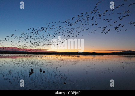 Flock of Snow geese at sunrise - Stock Photo