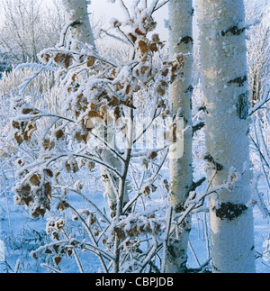 Birch trees covered by hoarfrost - Stock Photo