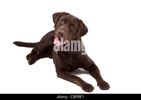 Chocolate labrador retriever puppy isolated on white background - Stock Photo