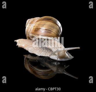 studio photography of a Grapevine snail creeping in black reflective back