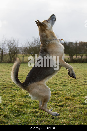 Alsatian German Shepherd Dog leaping in the air - Stock Photo