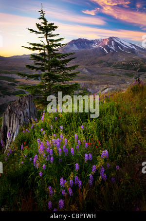 Sunrise at Mount Saint Helens National Volcanic Monument with summer wildflowers in the foreground - Stock Photo