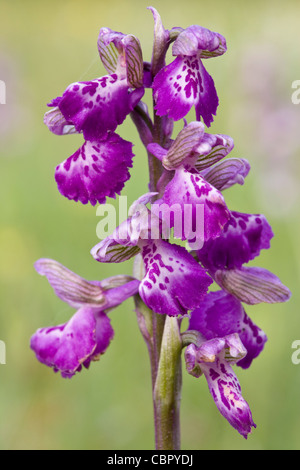 Green-winged Orchid, Anacamptis morio, flowers. Also known as Orchis morio. - Stock Photo