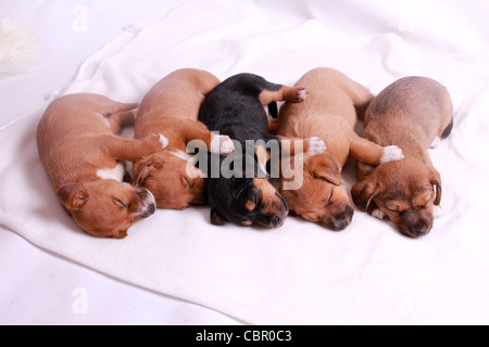 5 week old puppies sleeping - Stock Photo