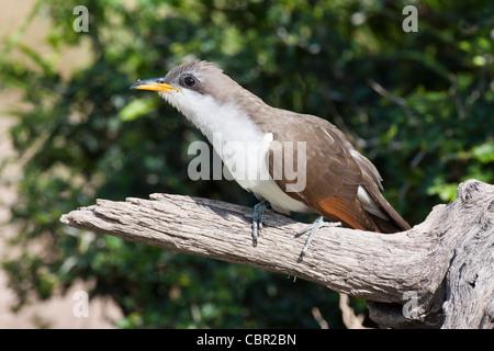 Yellow-billed Cuckoo, Coccyzus americanus, sometimes called the 'rain crow' - Stock Photo