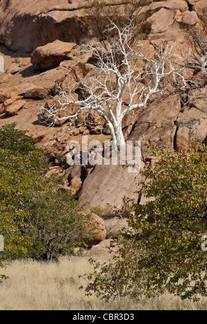 Sterculia quinqueloba tree growing on rocky hillside, Namibia - Stock Photo