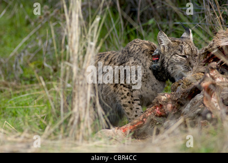 Wild Iberian Lynx feeding on carcass of red deer trapped in wire fence - Stock Photo